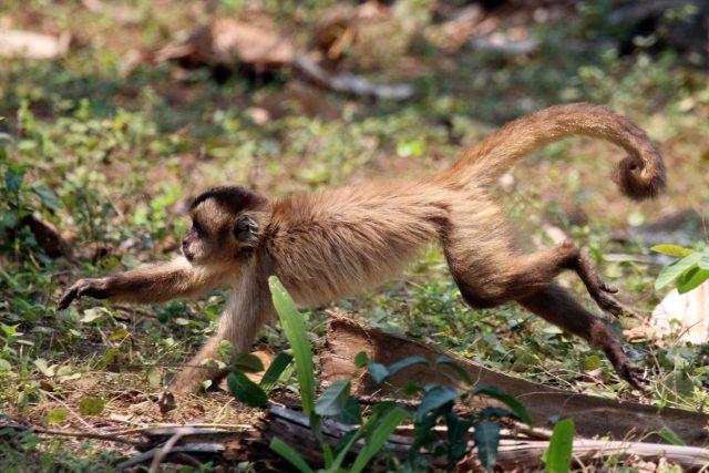 Brazilská opice malpa pruhohřbetá (Sapajus libidinosus)