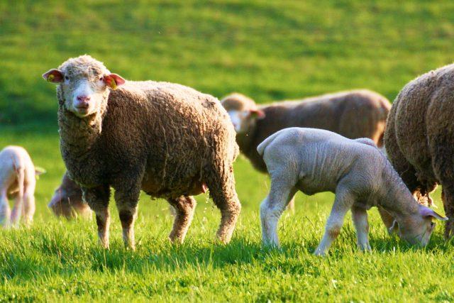 Stáda ovcí bez pasteveckých psů - to je pro vlky jako otevřená lednice
