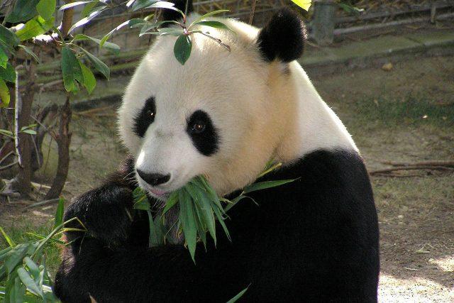 Panda na svůj oblíbený bambus nedá dopustit