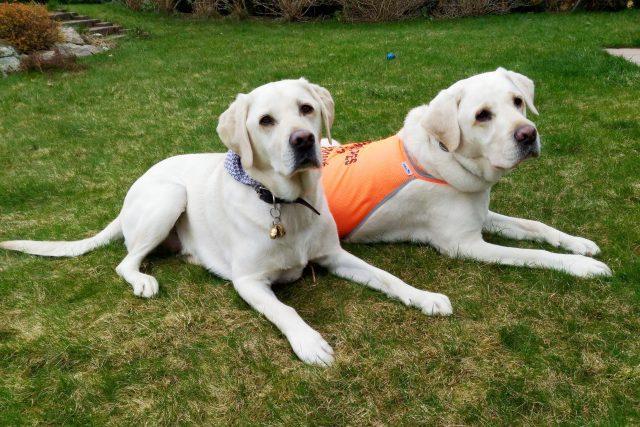Vodicí psi Nabu a Nelson jsou pro své páníčky důležitými průvodci světem