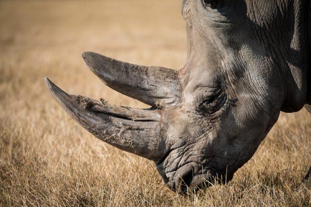 nosorožec  .jpg