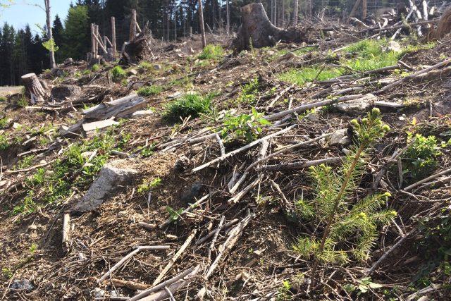 Lesníci vysazují stromky v okolí Dolní Moravy