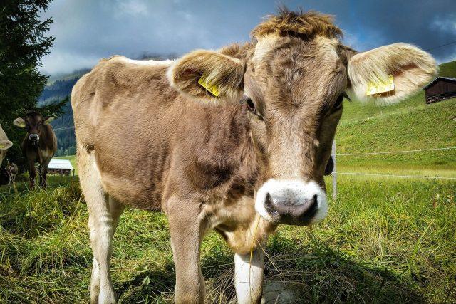 kráva, Švýcarsko
