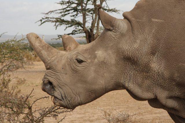 Nájin, jedna ze svou posledních samic nosorožce tuponosého severního. Narodila se v ZOO Dvůr Králové, dnes žije v keňské Ol Pejetě