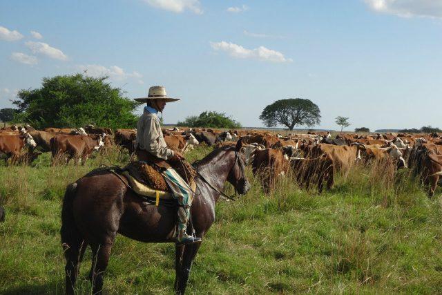 Argentinský gaučo se stádem dobytka