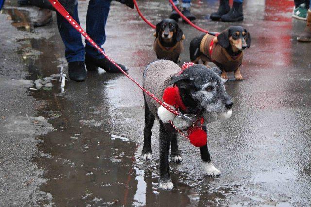 V nevlídném počasí psi svetry ocenili i z praktických důvodů
