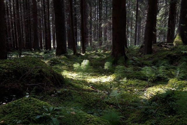 Les na Šumavě (ilustrační snímek)