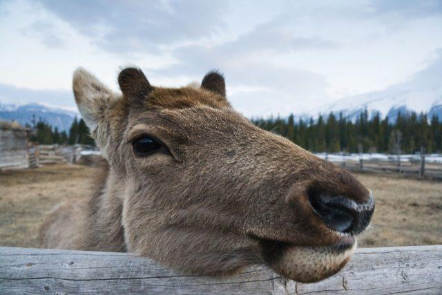 Jelen maral žije v drsných podmínkách ruské Sibiře