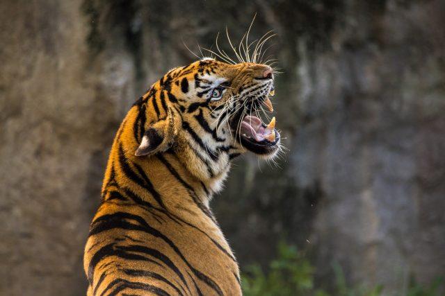 Čínská vláda po loňském zákazu obchodu se slonovinou nově zakázala obchodování s tygry a nosorožci včetně využívání částí jejich těl | foto: Fotobanka Pixabay