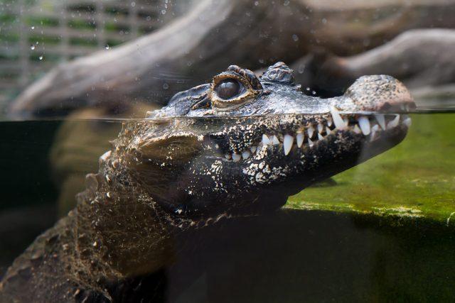Pozvi zvíře na oběd! Krokodýl čelnatý