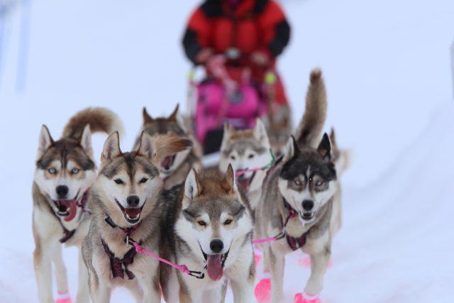 Jana Henychová má v současné době ve smečce 26 psů různého věku | foto: archiv Jany Henychové