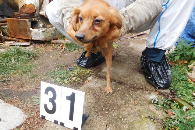 Jeden z téměř 80 psů odebraných chovatelce v Mladějově na Svitavsku | foto: Státní veterinární správa