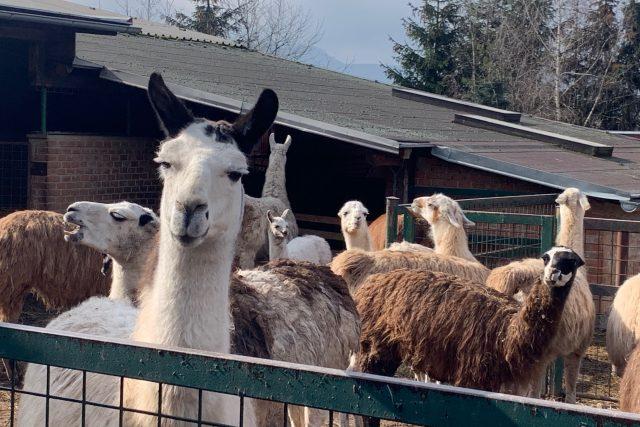 Farma Wenet Broumov kvůli nedostatku peněz chystá prodej desítek svých zvířat | foto: Václav Plecháček,  Český rozhlas