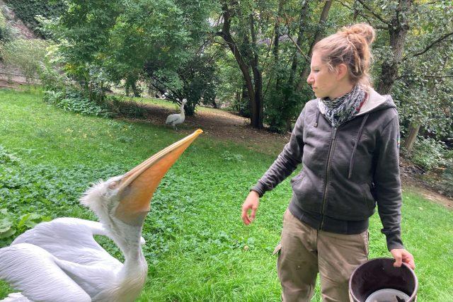 Chovatelka Aneta Kratochvílová s milovanými pelikány | foto: Ľubomír Smatana,  Český rozhlas