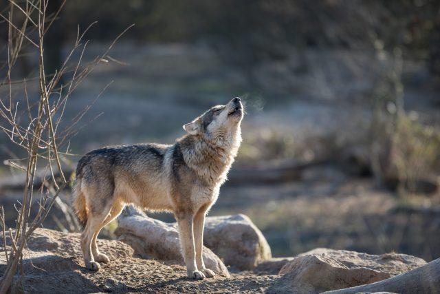 Vlk | foto: Profimedia