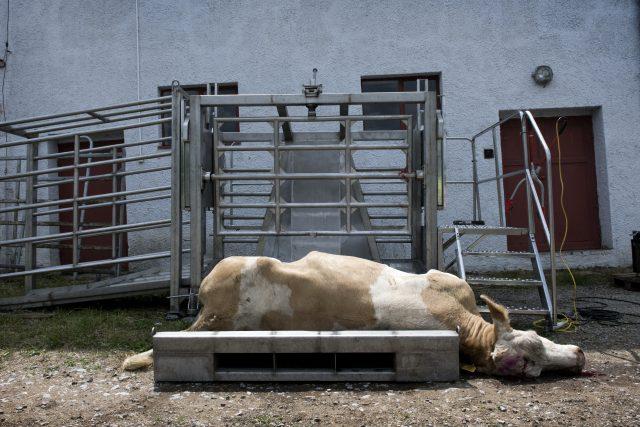 Kvůli nedostatku krmiva způsobenému suchem a spekulanty se zvyšuje počet poražených býků | foto: Michaela Danelová,  iROZHLAS.cz