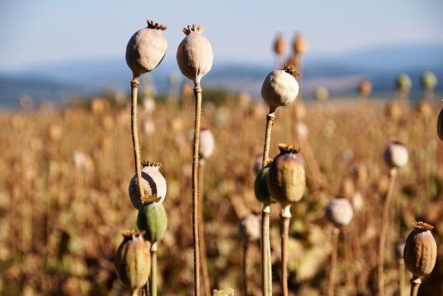 Mák, makovice, makové pole (ilustrační foto)