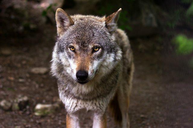 Vlk, vlci (ilustrační foto)